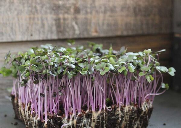 red cabbage microgreens