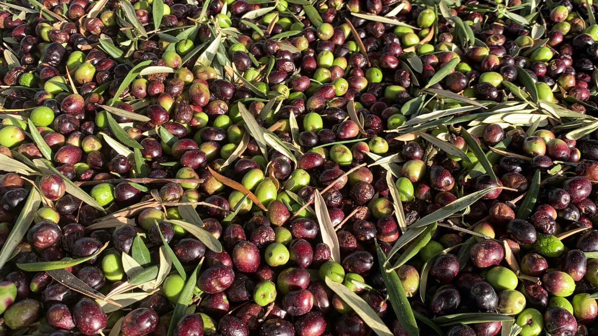 olives-tours