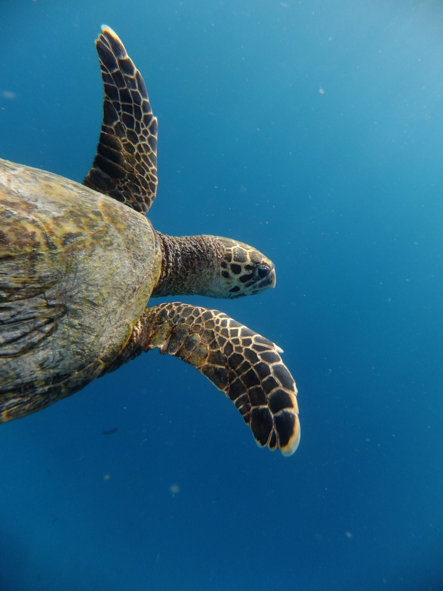Meeres schildkröte malediven