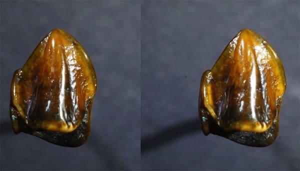 fossili di denti