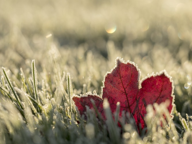 Close up photo of a red maple leaf in frosty grass