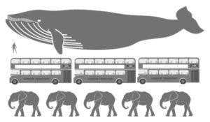 Blue Whale comparison