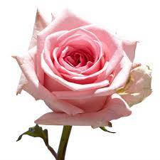 Valentine's Dayroses Pink Roses
