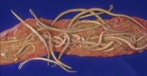 pork-worms