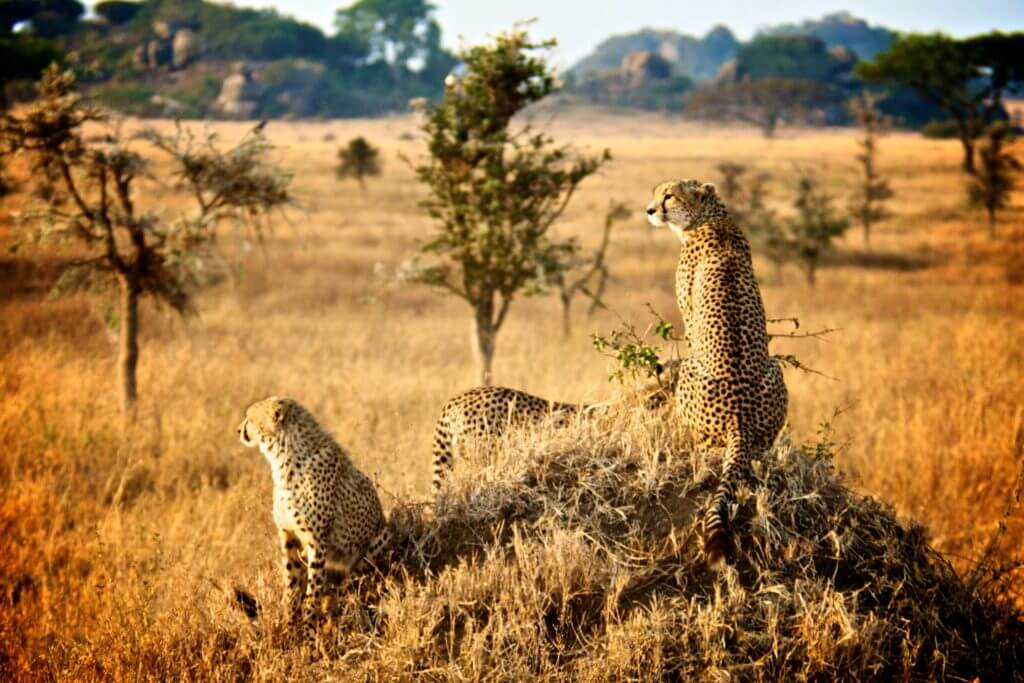 Tanzania-cheetahs-on-mound