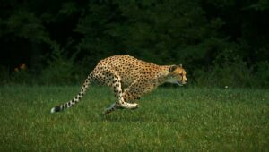 Sarah the Cheetah, courtesy Wikimedia