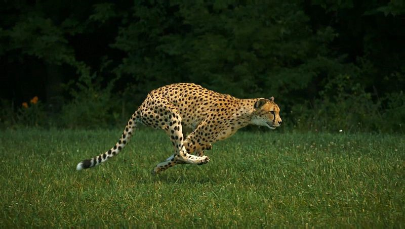 Fastest Land Mammal