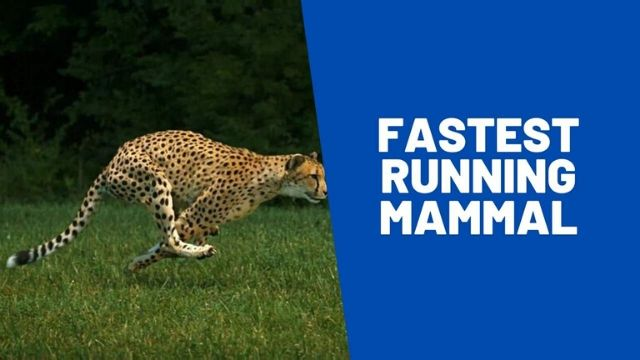 The fastest land mammal and its impact on your wellbeing