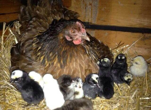 02: A family grew vegetables and kept chickens during lockdown