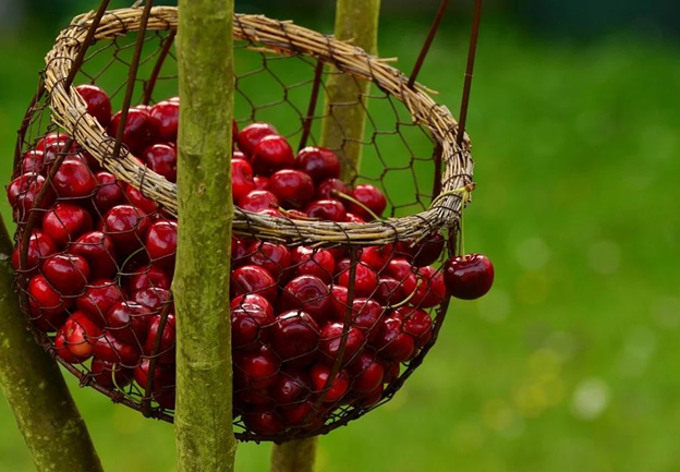 Health Benefits of Cherries - 7 Well-Kept Secret Facts