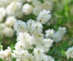 tea-tree-plant