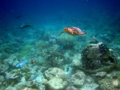 A turtle swims close to the bottom of the ocean in Chagos Archipelago