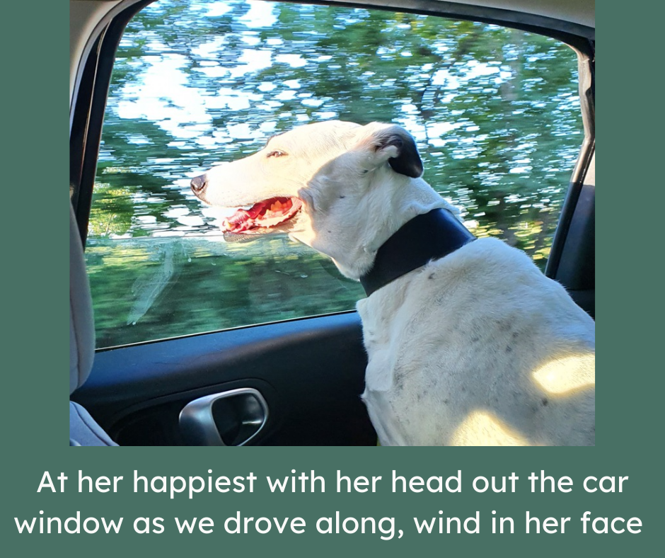 Black and white dog with head out of a car window.