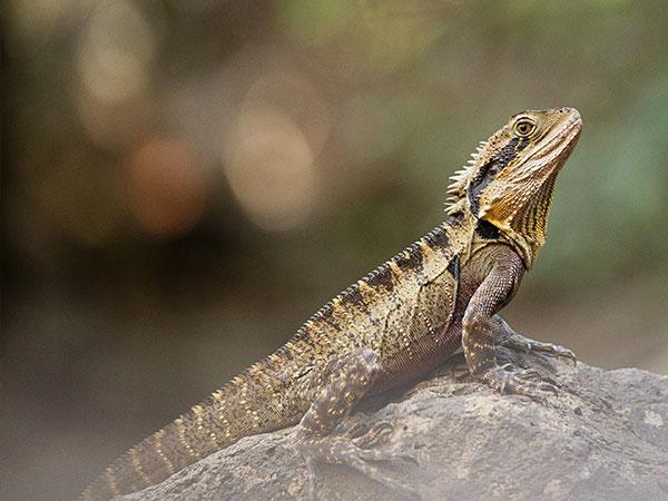 raw-diet-bearded-dragon