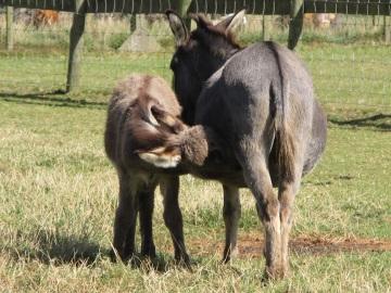 Dory the new mini donkey has a milk break