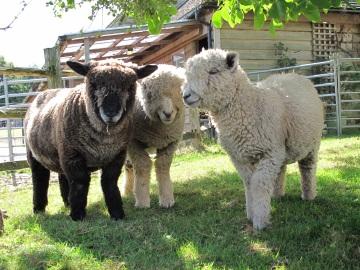 Do we look sheepish? Ryland ram lambs