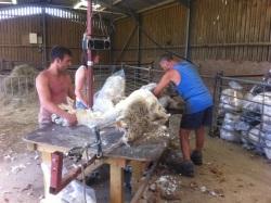 Finished Shearing