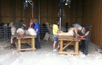 Shearing 2013