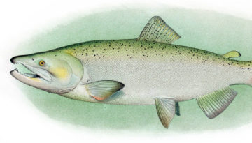 methow-salmon-recovery-foundation