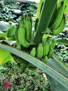 bananen am strauch