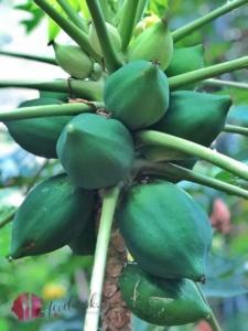 Papaya am Baum