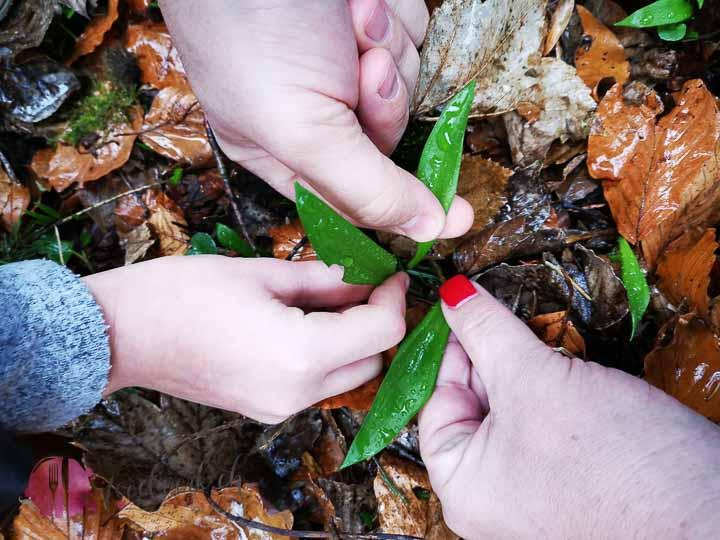 Bärlauch pflücken im Wald. Drei Hände pflücken den zarten Bärlauch vom Waldboden