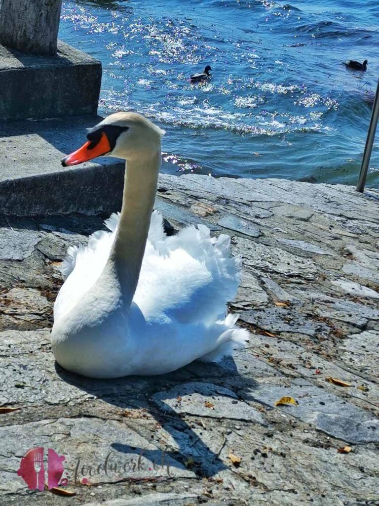 Schwan in Ascona