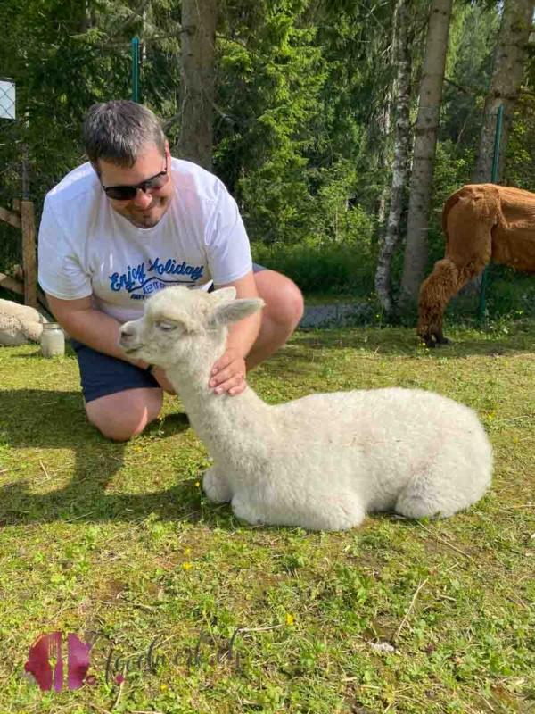Alpaka geniesst streicheleinheiten von Tobi