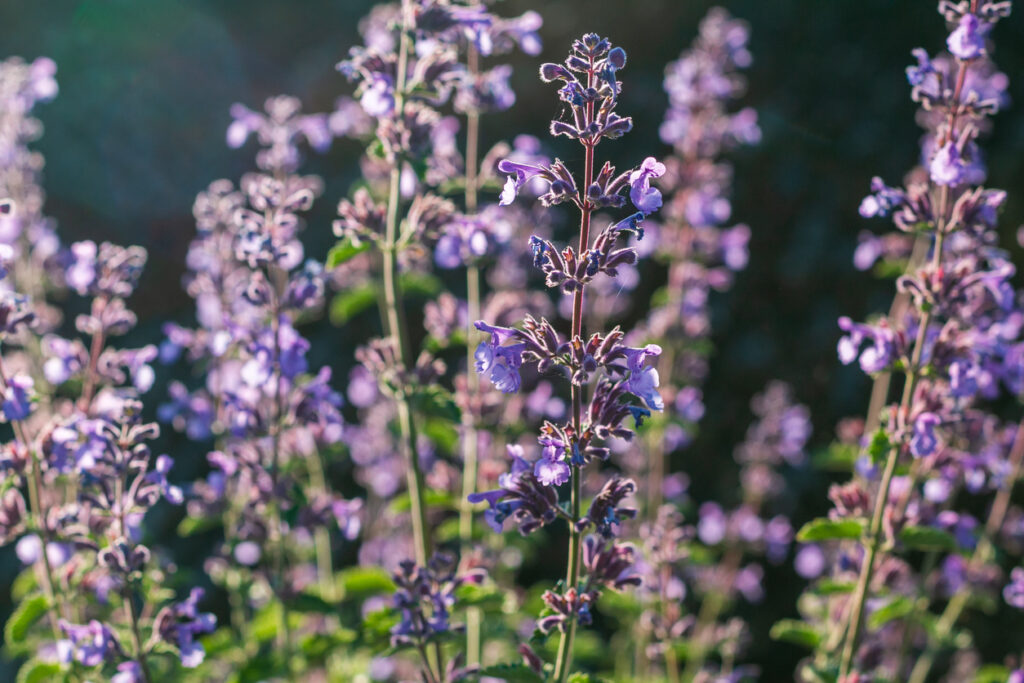 Catmint in Eynsford, England
