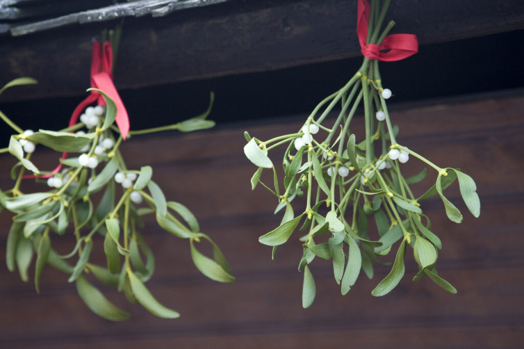 Bunches of mistletoe hanging on red ribbon