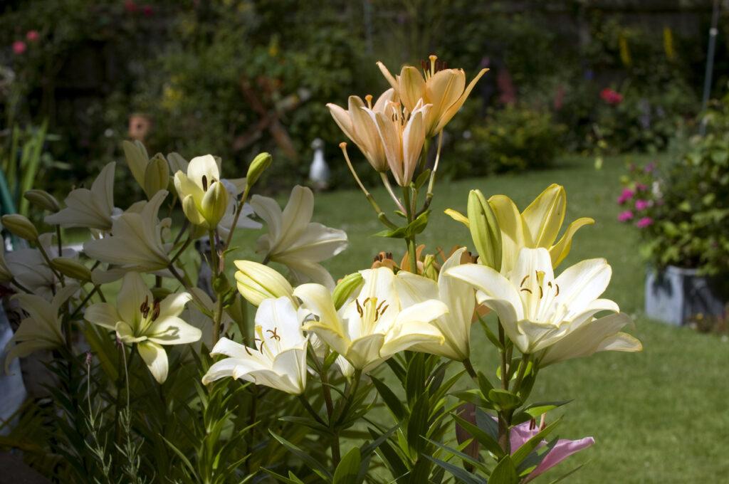 lilly in english garden