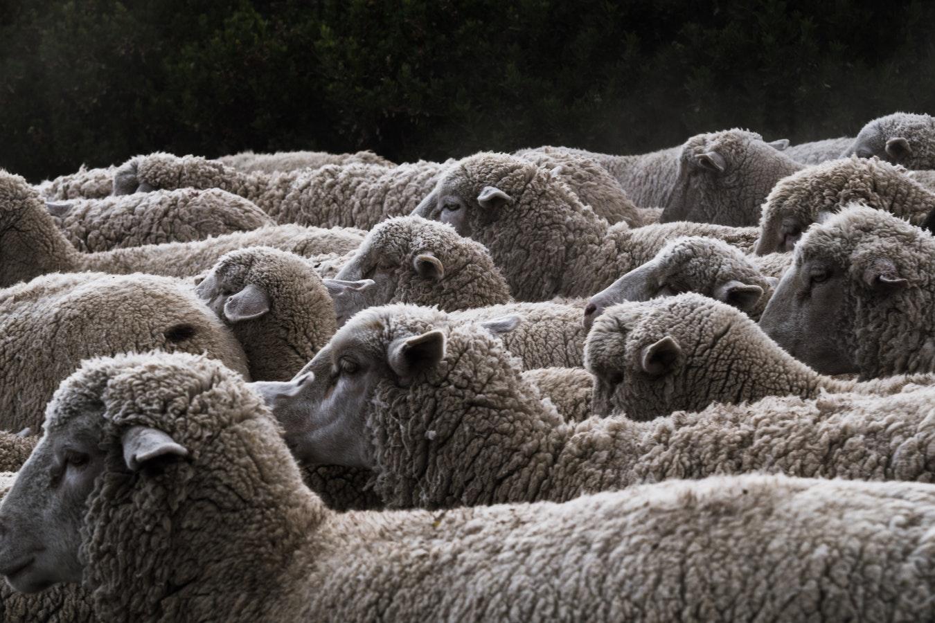 Image of sheep.