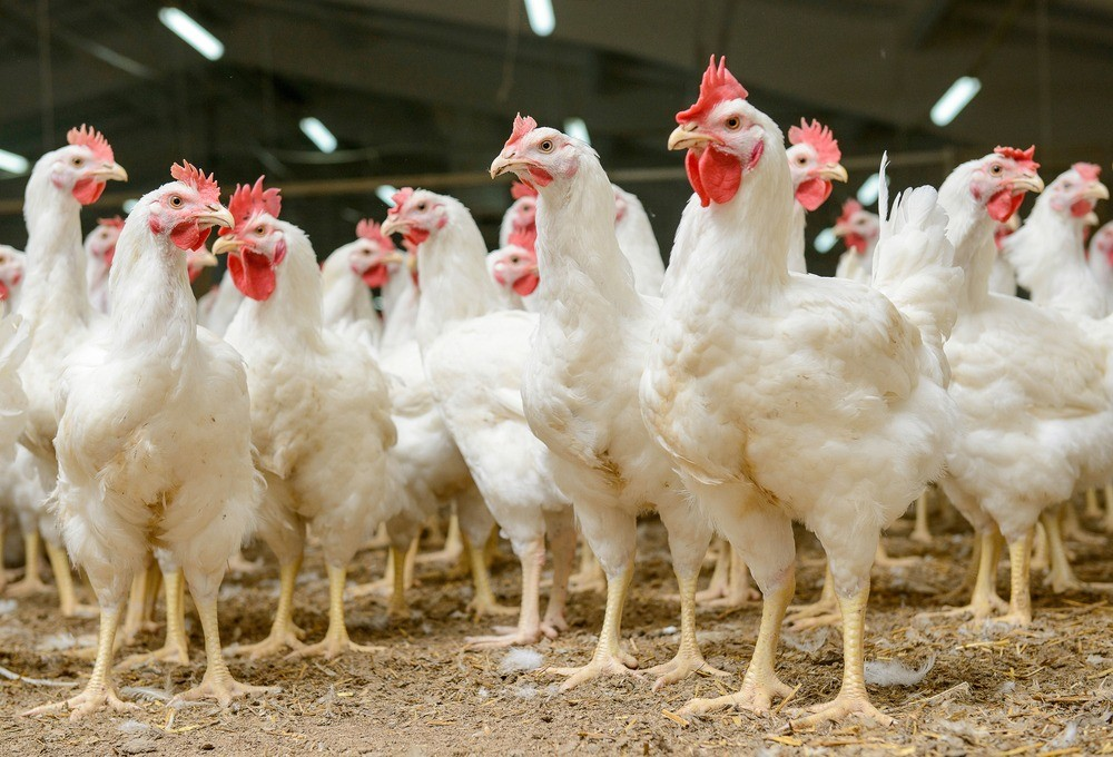 Image of chickens.