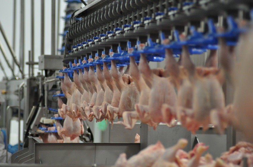 Image of chickens being processed at a UK poultry processing plant