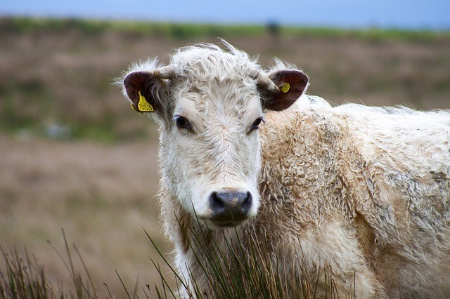 Image of british cow in a field.