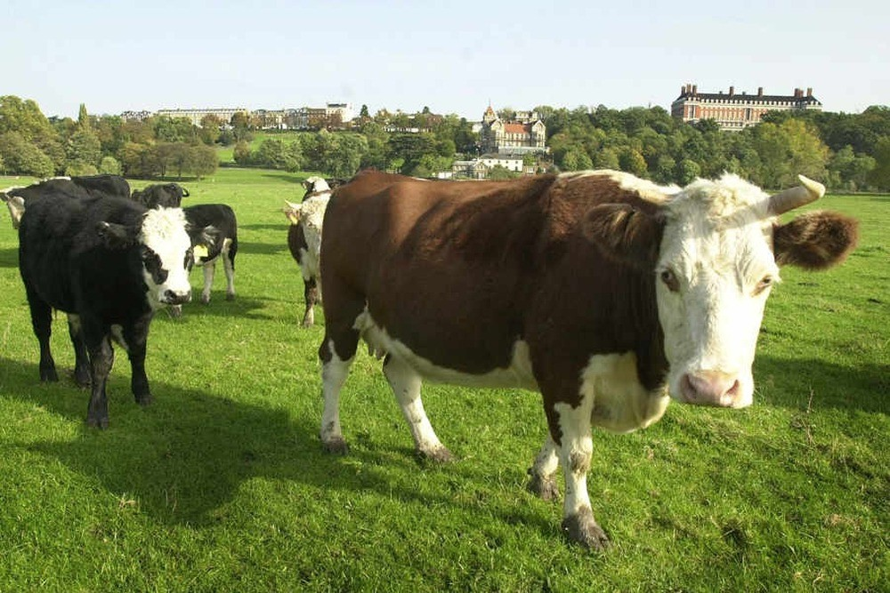 This is an image of a cow in a field.