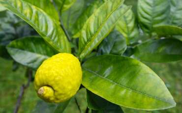 Judging Others by Judging an Etrog: Lessons from Parshat Lech Lecha