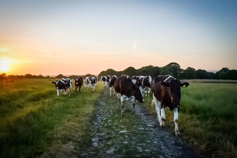 牛肉小知識|穀飼牛vs草飼牛,哪一種牛肉更適合你?