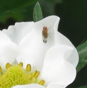 BigSis sterile male SWD on strawberry flower
