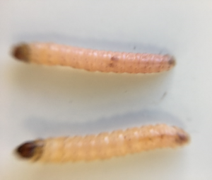Codling moth male (top) and female larvae