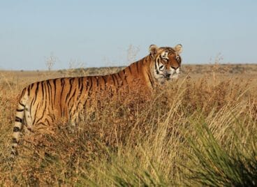 Tiger standing tall in the grass at Tiger Canyon Private Game Reserve