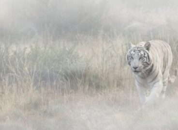 White tiger stalking through the long grass at Tiger Canyon Private Game Reserve