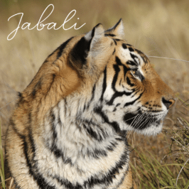 Tiger Jabali at Tiger Canyon Private Game Reserve