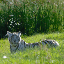 Tiger Kei at Tiger Canyon Private Game Reserve