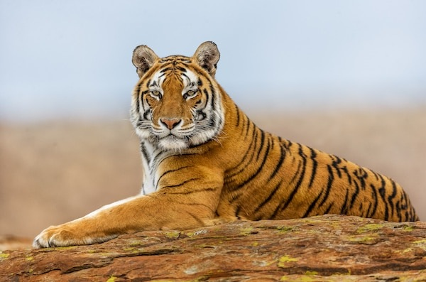Tiger perched on a rock at Tiger Canyon Private Game Reserve
