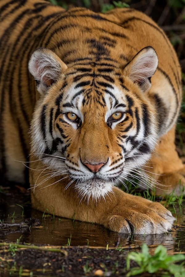 Tiger staring into the camera at Tiger Canyon Private Game Reserve