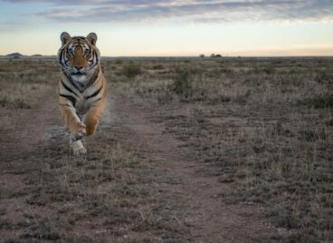 Tiger running towards the camera at Tiger Canyon Private Game Reserve