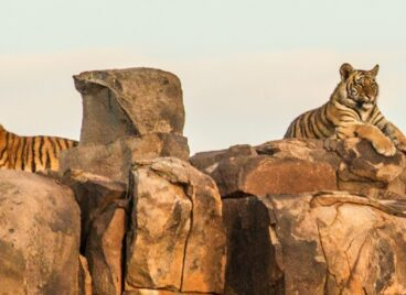 Four tigers perched on a rocky outcrop at Tiger Canyon Private Game Reserve