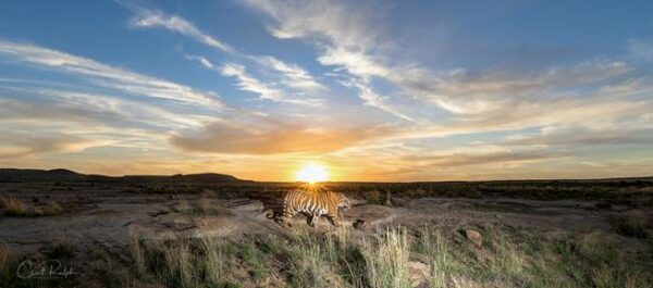 Tiger walking across the landscape against a blue sunset at Tiger Canyon Private Game Reserve