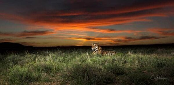 Tiger in the grass against a colourful sunset at Tiger Canyon Private Game Reserve